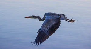 blue heron in flight wildlife tour