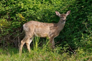 white-tailed deer wildlife in Vermont